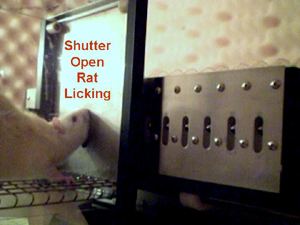 Rat licks during trial (shutter open)